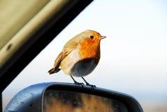 Le Robin européen Photographie stock libre de droits