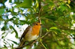 Le Robin européen Photos stock