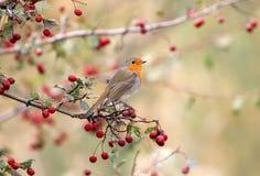 Le Robin européen se repose sur un buisson d'aubépine entouré par les baies rouges lumineuses Photo stock