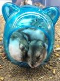 Le roborovskii de Phodopus de hamsters de Roborovski également connu sous le nom de hamsters de désert ou le Robos sont le plus p Photos libres de droits