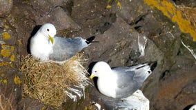 Le rocce dell'uccello del gabbiano annidano video d archivio