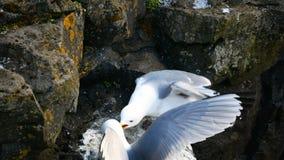 Le rocce dell'uccello del gabbiano annidano archivi video
