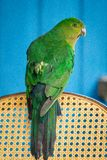 Le Roi australien Parrot Female s'asseyant sur le dos de la chaise image libre de droits