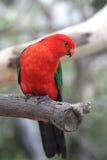 Le Roi australien Parrot (scapularis d'Alisterus) Photos libres de droits