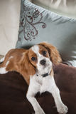 Le Roi cavalier Charles Spaniel Photo stock