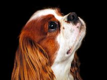Le Roi cavalier Charles Spaniel Photos libres de droits