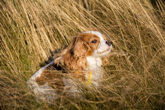 Le Roi cavalier Charles Spaniel images stock