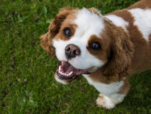 Le Roi cavalier Charles Spaniel Dog Breed Photographie stock