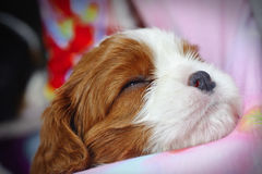Le Roi cavalier Charles Spaniel Puppy Photos stock
