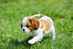 Le Roi cavalier Charles Spaniel Puppy photo libre de droits