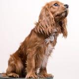Le Roi cavalier Charles Spaniel Puppy Portrait image libre de droits