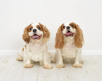 Le Roi Charles Spaniel Dogs Images stock