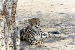 Le Roi Cheetah en plus grand parc national de Kruger, Afrique du Sud images libres de droits