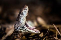 Le Roi Cobra Photographie stock libre de droits