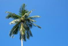 Le Roi Coconuts dans l'arbre image stock