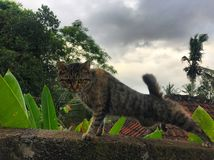 Le roi de chat de la jungle photo libre de droits