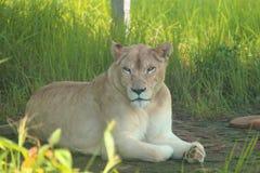 Le roi de la jungle Photographie stock