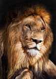 Le roi de lion images stock
