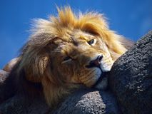 Le roi de lion Photographie stock