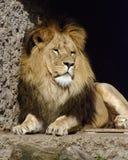 Le roi de lion Image libre de droits