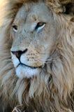 Le roi des bêtes. Photographie stock