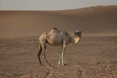 Le roi du désert photographie stock