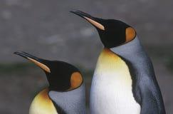 Le Roi du sud BRITANNIQUE Penguins de Georgia Island deux tenant côte à côte la vue de côté haute étroite Images stock