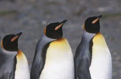 Le Roi du sud BRITANNIQUE Penguins de Georgia Island trois tenant côte à côte haut étroit Photo stock