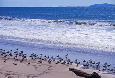 Le Roi Gulls de la Californie sur la plage Images libres de droits