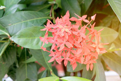 Le Roi Ixora Ixora de floraison chinensis   Image libre de droits