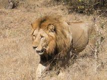 Le Roi Lion en Kruger photos libres de droits