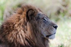 Le Roi mâle Stare de lion images stock