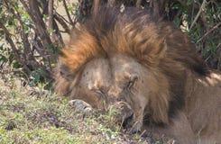 Le Roi Male Lion Portrait dans le masai Mara Photographie stock libre de droits