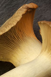 Le Roi Oyster Mushrooms Photographie stock libre de droits