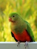 Le Roi Parrot photo stock