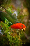 Le Roi Parrot Image stock
