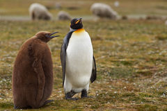 Le Roi Penguin avec le poussin affamé - Falkland Islands images stock