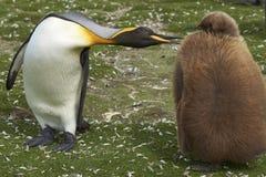 Le Roi Penguin avec le poussin sur Falkland Islands image libre de droits