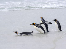 Le Roi Penguin Group, le patagonica d'Aptenodytes, sauts dans le point de seaVolunteer offrent le point, Malouines/Malvinas Image libre de droits