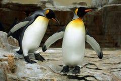 Le Roi Penguin (patagonicus d'Aptenodytes) Photographie stock libre de droits