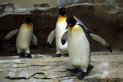 Le Roi Penguin (patagonicus d'Aptenodytes) Images libres de droits