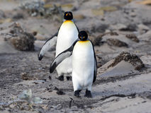 Le Roi Penguin, patagonicus d'Aptenodytes, d'une île plus saine, Falkland Islands-Malvinas photo stock