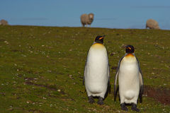 Le Roi Penguins à une ferme de moutons - Falkland Islands Images stock
