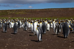 Le Roi Penguins Photos libres de droits