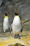 Le Roi Penguins Images libres de droits