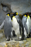 Le Roi Penguins Photographie stock