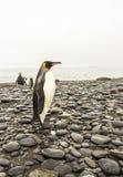 Le Roi Penguins Images stock