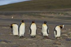 Le Roi Penguins au cou sur l'île de Saunders Photo libre de droits