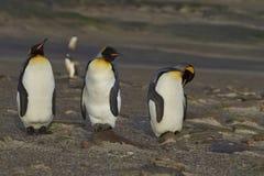 Le Roi Penguins au cou sur l'île de Saunders Image libre de droits