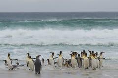 Le Roi Penguins Coming Ashore photographie stock libre de droits